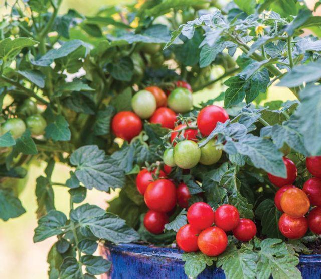 Tomato Veranda Red. Picture; Burpee Europe