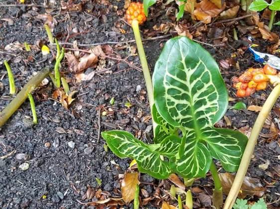 Arum italicum marmoratum leaves pushing through with berries flopped over