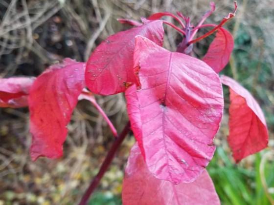 Cotinus leaves bright red, November 30