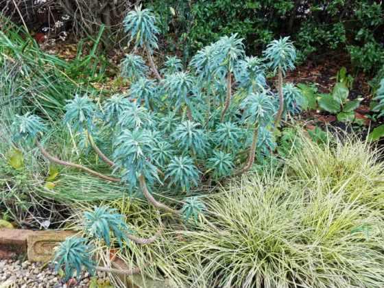 Euphorbia wulfenii with Carex