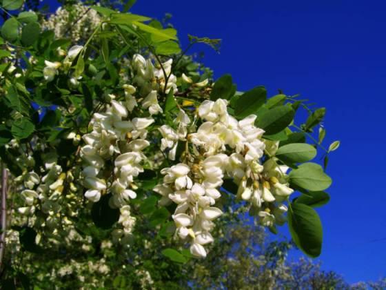 Flowering acacia