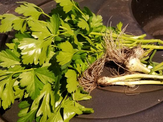 Giant Italian parsley and winter spring onions
