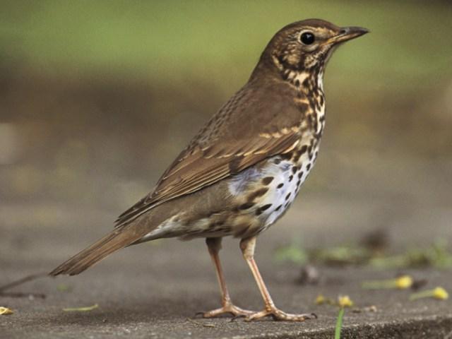 Song thrush. Picture; RSPB/Chris Gomersall