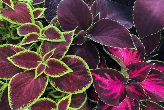 Coleus Velvet Luxe. Picture; Dobies