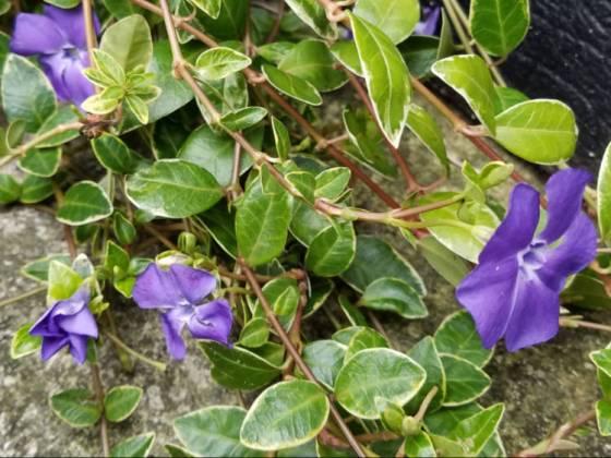 Vinca Major variegata, February 19