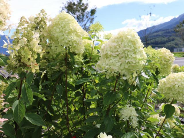 Hydrangeasy® Revenant®. Picture; Lubera