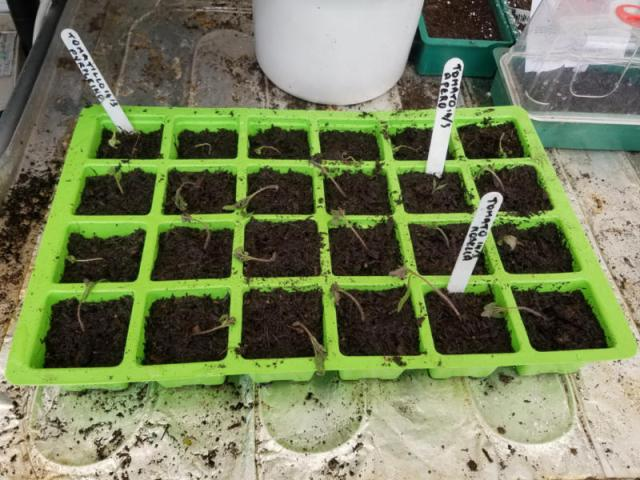Collapsed tomato and tomatillo seedlings, 11.30am, March 31
