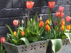 Tulips Triumph Mix, April 25