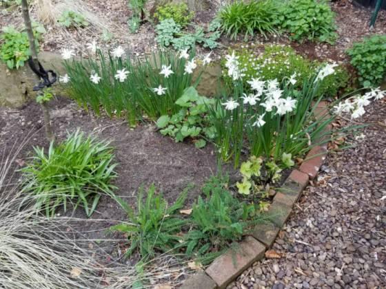 Daffodil Thalia bed