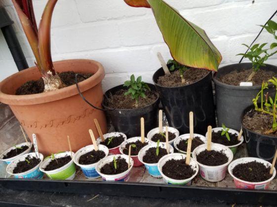 Maskotka tomato seedlings