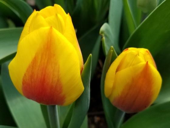 Yellow/orange Triumph tulip