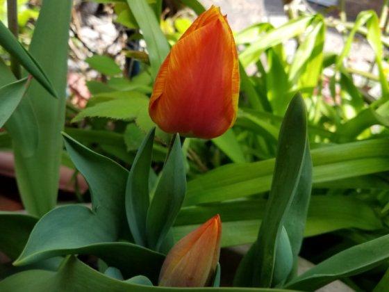 Tulip Indian Summer