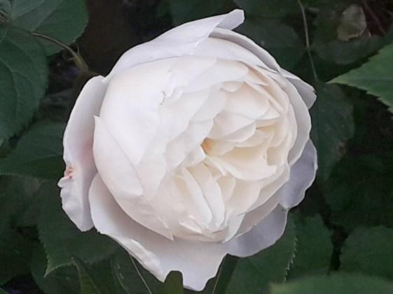 Rose Desdemona, June 24
