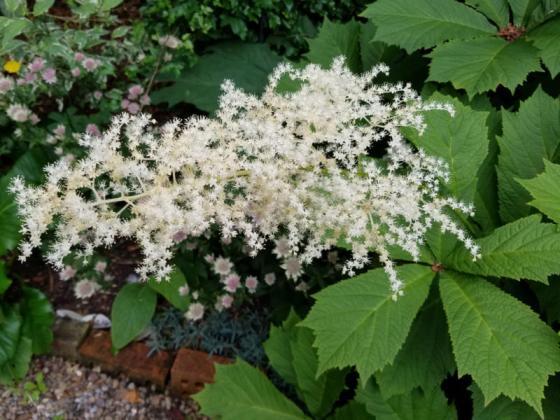 Rodgersia flower, June 23