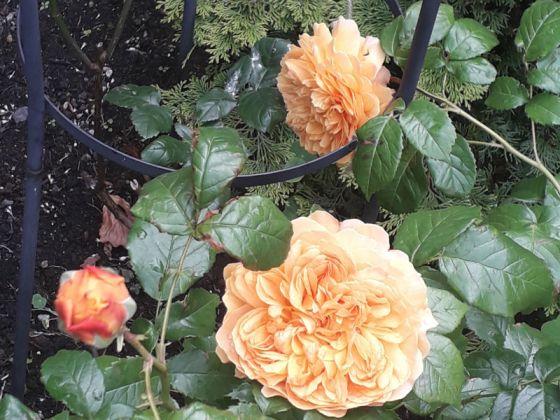 Rose Leah Tutu, June 27