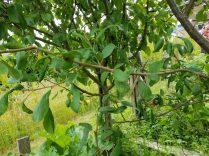 Pruned canopy