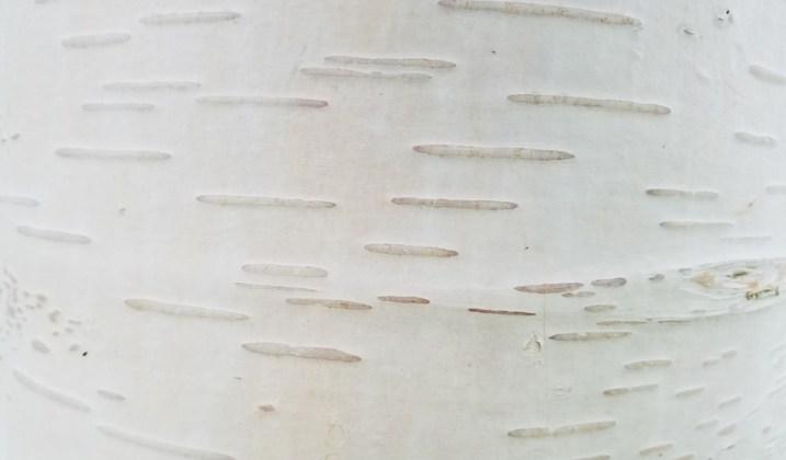 Birch Greywood's Ghost