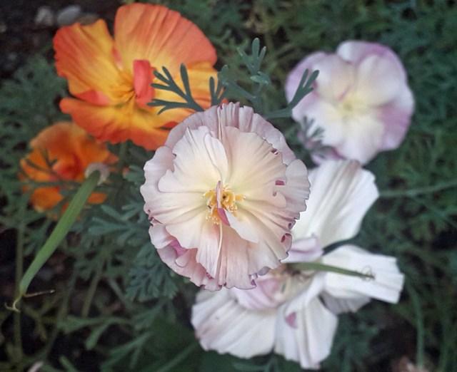 Californian poppies. Aug 12