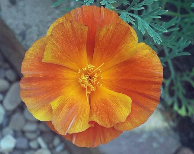 Californian poppy. Aug 12