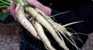 Carrot Blanche a Collet Vert, Aug 16