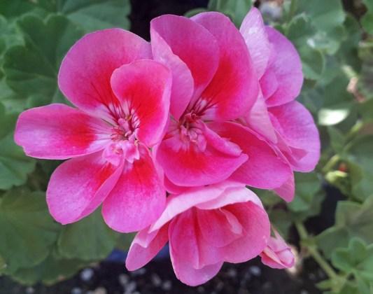 Pink geranium, Aug 12