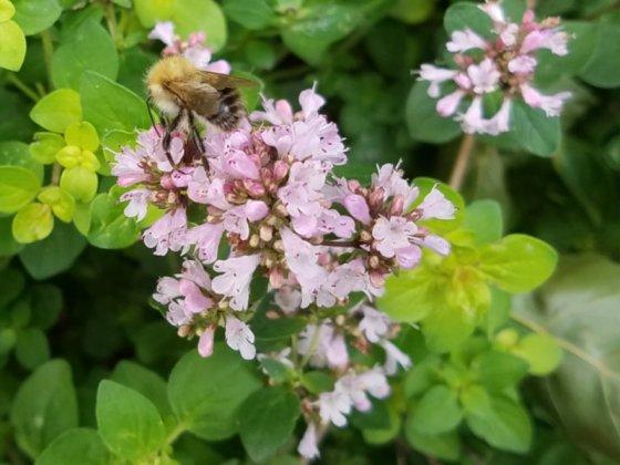 Golden marjoram with bee, August 30