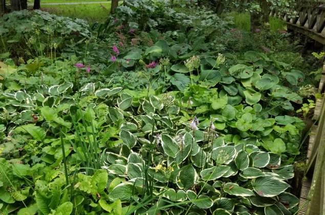 Hostas from the bog garden walkway