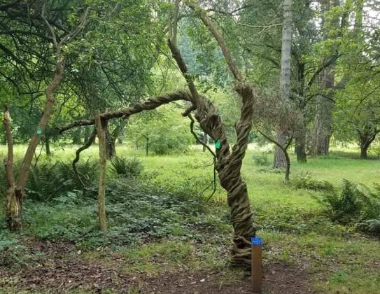 Tree mutation with corkscrew bark