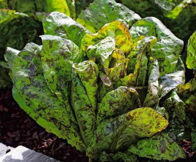 Lettuce Speckled Trout. Picture; Dobies