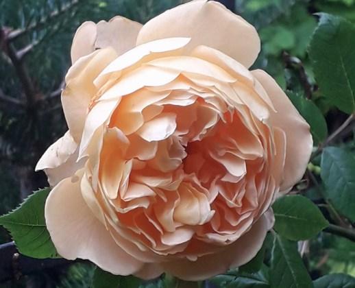 Rose Crown Princess Margareta, Sept 8