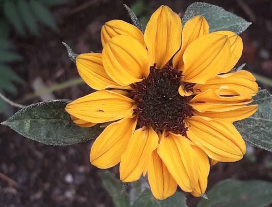 Sunflower Sonja, Sept 8