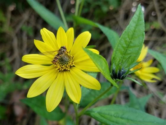 Helianthus Lemon Queen with bee, Sept 8