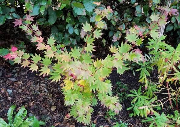 Acer shirasawanum Jordan, Oct 8