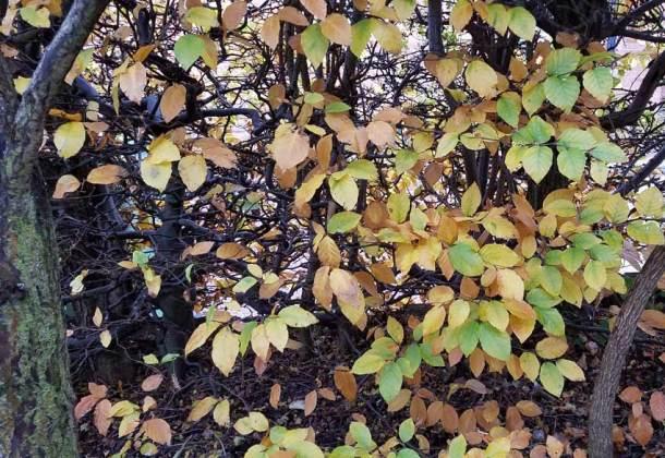 Beech hedge foliage, Oct 29