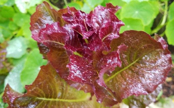 Lettuce Intred, Oct 29