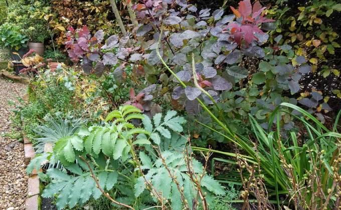 Honey bush (Melianthus) and smoke bush (Cotinus), Oct 29