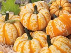 Pumpkin Blaze. Picture; DT Brown
