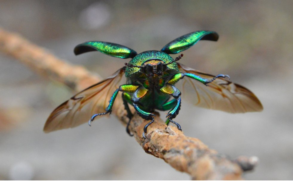 the flight of the christmas beetle