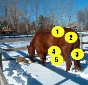 Parts of the Horse quiz - horse from rear - Mane-U