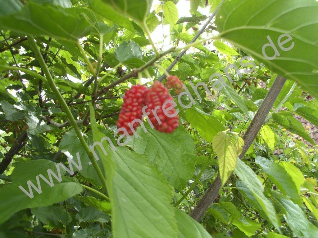 Rote Maulbeere aus Rumnien  Pflanzenraritten aus MecklenburgVorpommern