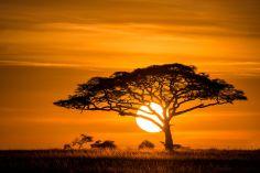 acacia-sunset