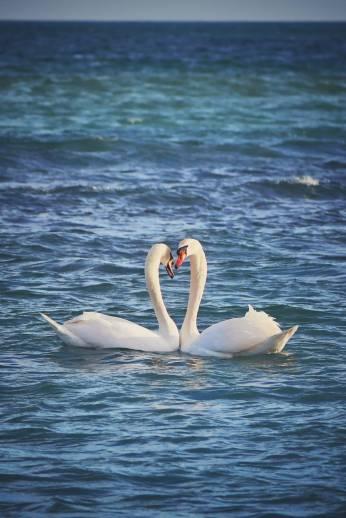 Vlad Eftenie - Valentine swans Capul Turcului Eforie Sud