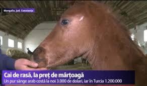 cai de rasă herghelia mangalia
