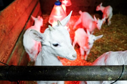 ettantina di capre Saanen,