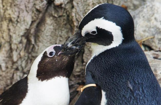 271114_La_homosexualidad algo_natural_04_gay_penguins