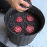 Como plantar tomates em casa de forma simples e rápida!