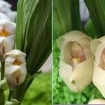 Conheça a beleza incrível desta orquídea que parece um bebê no berço