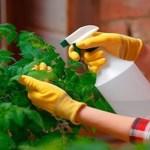 Como preparar Spray utilizando alho, pimenta e sabão para acabar com as pragas no jardim