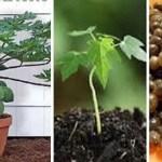 Aprenda a plantar mamão em vaso de uma maneira muito simples e fácil