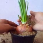 Aprenda a cultivar cebola dentro de casa